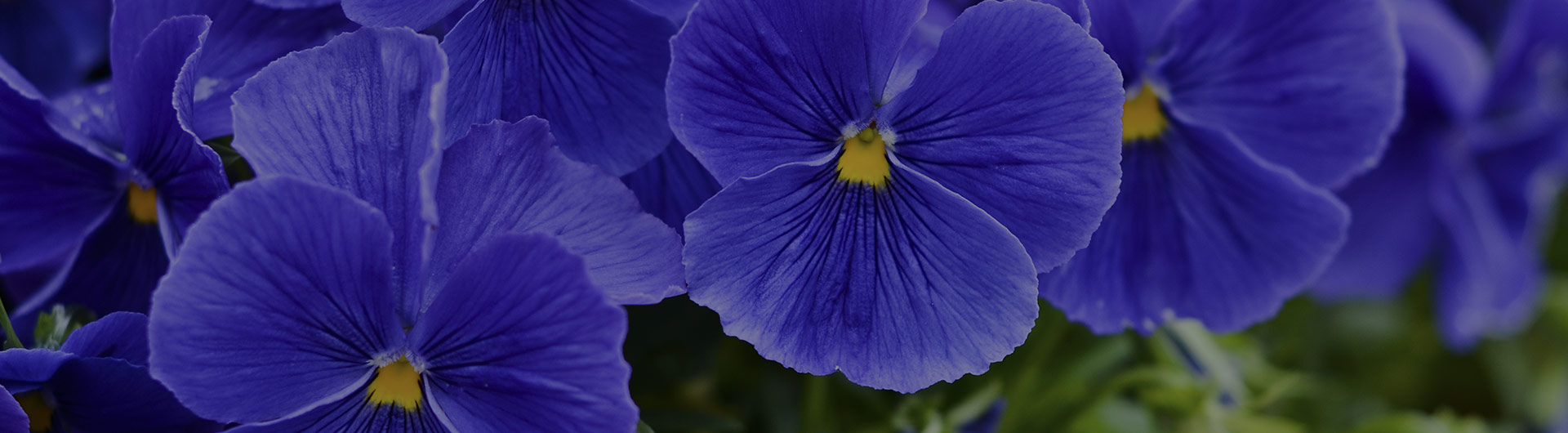 Blue violet flowers, New Jersey's state flower.